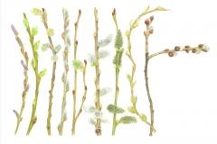 salicaceae
