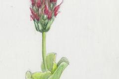 web_Trifolium